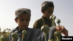 Children work in a poppy field in Helmand Province, where a mysterious disease has hit particularly hard. The province is home to a fertile river valley roughly the size of Switzerland that produces nearly half of the country's opium.