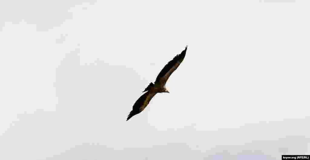 Это гнездящаяся оседлая и кочующая птица Крыма. Гнездовая численность на полуострове, по последним данным, составляет около 25пар, общая (вместе с особями, которые не размножаются) – около полутора сотен птиц. Размах крыльев белоголового сипа достигает 2,65 метра, а вес – до 10 килограмм