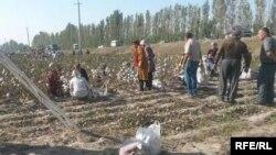 Өзбекстанда мақта теріп жүрген адамдар (Көрнекі сурет).