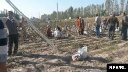 Хлопковое поле в Узбекистане.