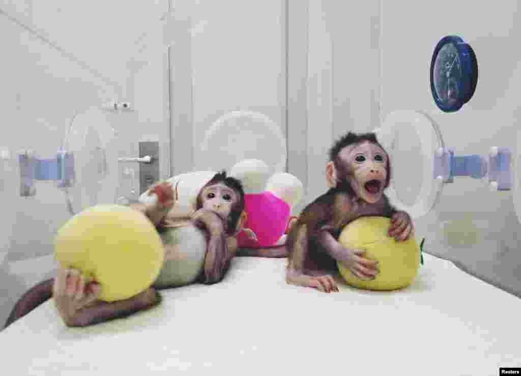 За словами вчених, клоновані макаки зараз їдять з пляшечки і нормально розвиваються. У найближчі місяці вчені планують створити нових клонованих мавп
