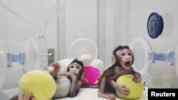 China -- Cloned monkeys Zhong Zhong and Hua Hua,China,2018Jan20