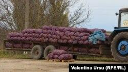 Cartofi vânduți la Briceni