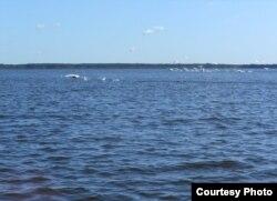 Спалохалі лебядзіны статак на возеры