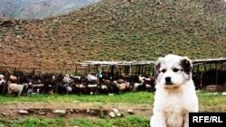 Çopan goşunda doglan güjük, 8-iýun, 2010.
