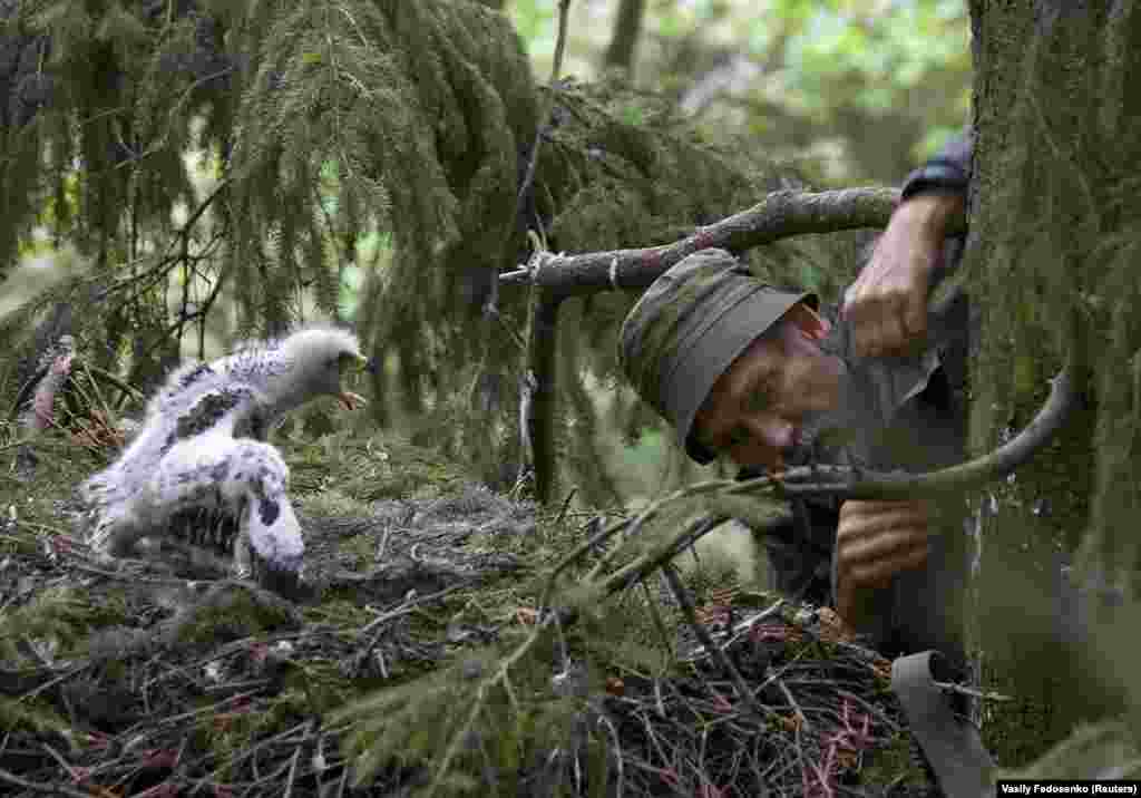 """Ivanouski checks on the nest of a spotted eagle. He told a Belarusian website he admired eagles because they are """"powerful, proud, and free; how can you not love them?"""""""