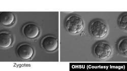 Эмбрионы с исправленной мутацией