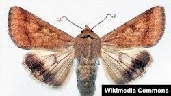 Helicoverpa armigera көпөлөгү