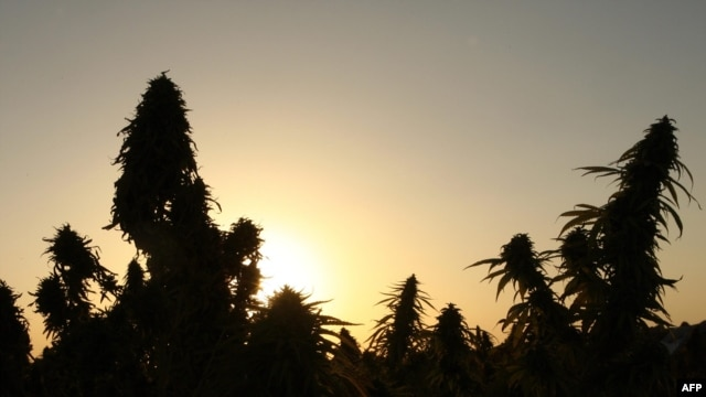 "Two-meter-high marijuana ""forests"" can be found in Chu Valley."