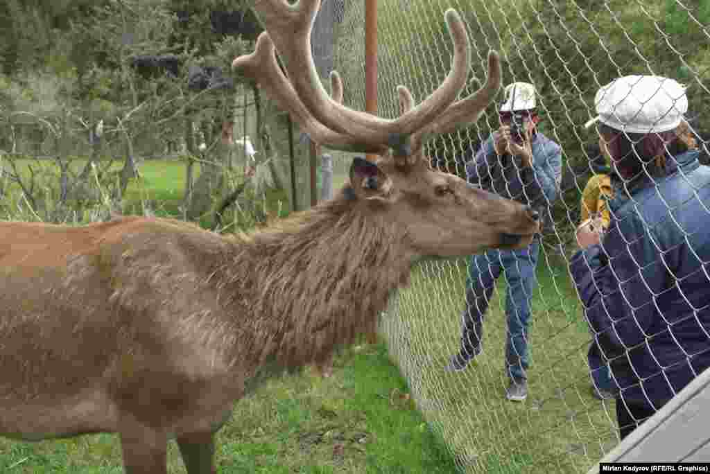 Кроме оленей, в заповеднике обитает свыше 400 горных козлов.