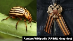 Many Ukrainian nationalists have drawn unfavorable comparisons between the bright orange-and-black stripes of the Colorado beetle (left) and the colors of the St. George ribbon (right), which is often worn by pro-Russia separatists.