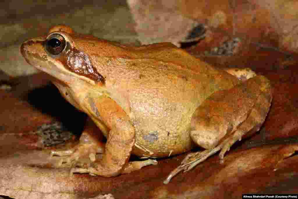 قورباغه جنگلی،Rana pseudodalmatina،پراکندگی در ايران:گيلان، مازنداران، گلستان و اردبيل،طول کل بدن:۵۸ ميليمتر