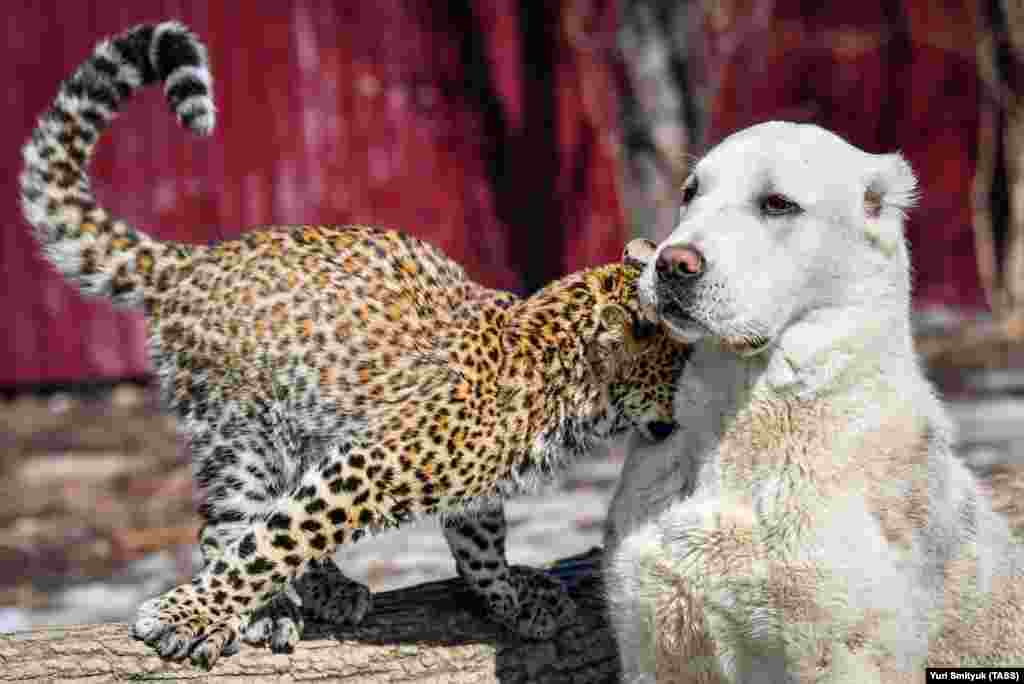 "Milasha is quite used to the company of dogs; the little leopard's ""wet nurse"" was a golden retriever."