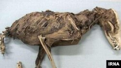 عکسی از حیوان «عجیب الخلقه» که منتشر شده است