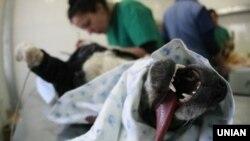 Ветеринар стерилізує бездомного собаку в клініці в Києві, 2 лютого 2012 року