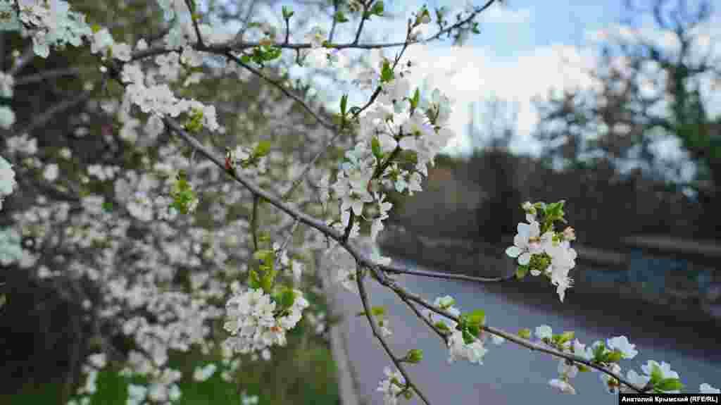 Над цветущей алычей в Никите уже жужжат пчелы