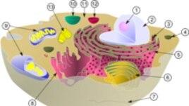 """Животная клетка. Синим цветом выделены митохондрии. Когда-то они были отдельными организмами, но в процессе симбиоза были поглощены протоклеткой. <a href = """"http://en.wikipedia.org/wiki/Image:Biological_cell.svg"""" target=_blank>GNU Free Documentation</a>."""