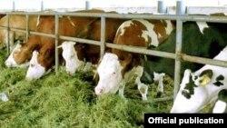 Әзербайжандық Agrolizing компаниясы Австриядан әкелген сиырлар.