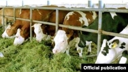 An Agrolizinq promotional photograph of German cows