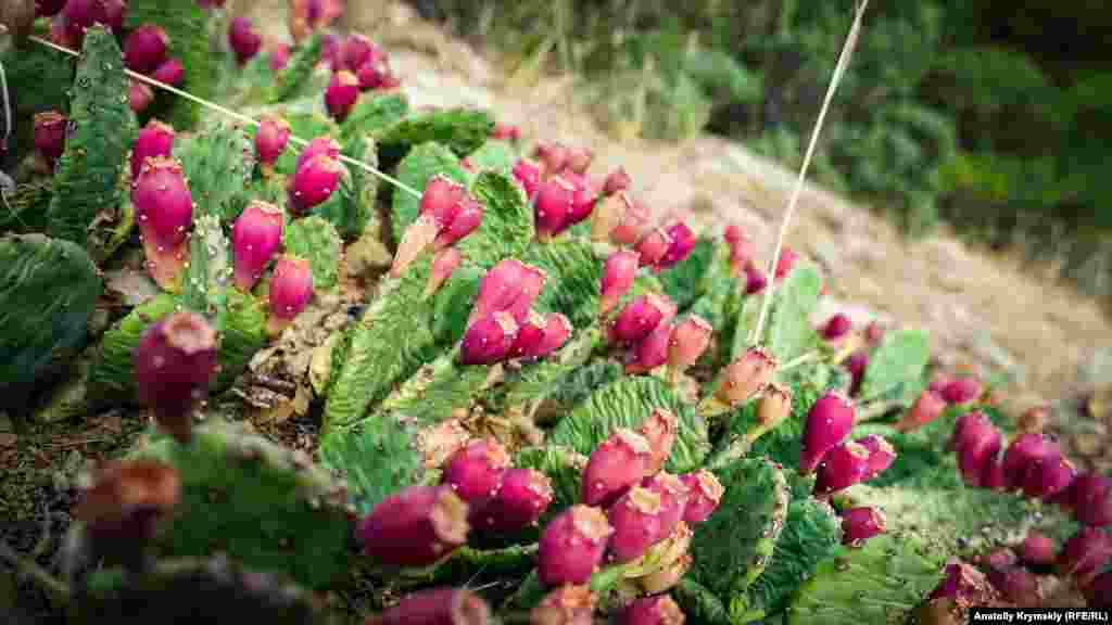 Kaktusnıñ bir çeşiti - opuntsiyanıñ yemişi. Onıñ özü ve yapraqları - faydalı ve aşala. Olardan qoşaf, tatlı, şekerlendirilgen meyva yapalar.