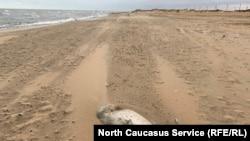 Мертвая нерпа на берегу Каспийского моря в районе Махачкалы.
