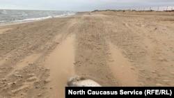 Мертвая нерпа на берегу Каспийского моря в районе Махачкалы