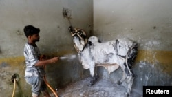 A worker applies foam to clean a bull during a spray wash at a service station ahead of the Muslim festival Eid al-Adha, on July 30.