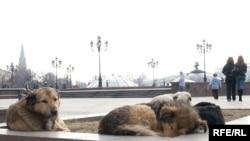Без бродячих собак не обошлась и Манежная площадь. У простых горожан стаи таких собак вызывают смешанное чувство жалости и страха
