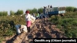Узбекистанские медики на сборе хлопка, архивное фото.