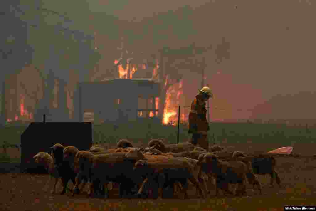 Спасатель гонит овец подальше от приближающегося огня. Жители населенных пунктов, к которым приближался огонь, были вынуждены экстренно покинуть свои дома. Согласно официальным данным, только в штате Виктория эвакуировали 67 тысяч жителей