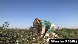 Мақта теріп жүрген өзбек әйелі. Түркістан облысы, Жетісай ауданы. 2 қазан 2018 жыл