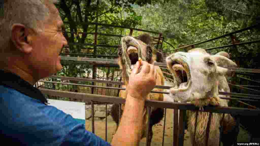 Верблюды охотно идут на контакт, если в руках еда