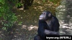 Шимпанзе в сафарі-парку «Тайган», Білогорськ, серпень 2017 року