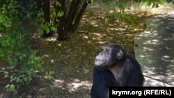 Шимпанзе в сафари-парке «Тайган». Белогорск, август 2017 года