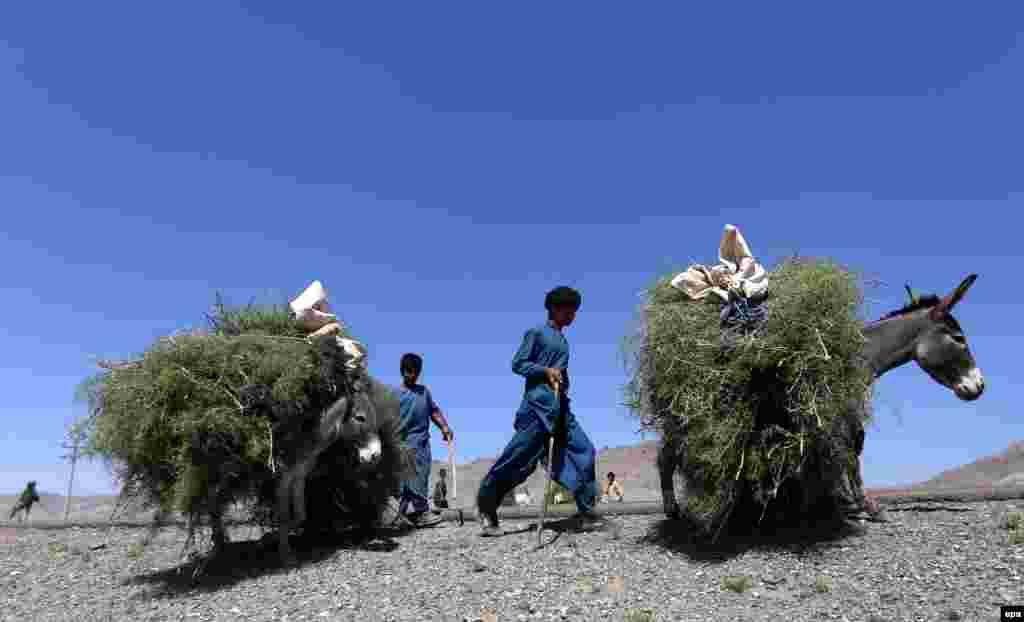 Afghan boys transport plants using donkeys in the western city of Herat. (epa/Jalil Rezayee)