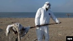 Охотники Краснодарского края неоднократно обнаруживали мертвых лебедей