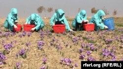زنان زعفرانکار در ولایت هرات