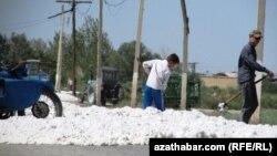 Türkmenistanda ýygnalan pagta hasyly. Arhiwden alnan surat