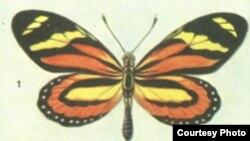 Желто-красная окраска крыльев встречается и у представителей еще одного вида - Heliconius eucrate.