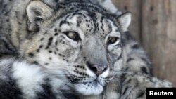 Using improved methods for counting cat numbers, experts estimate there are currently about 4,000 snow leopards in the wild.