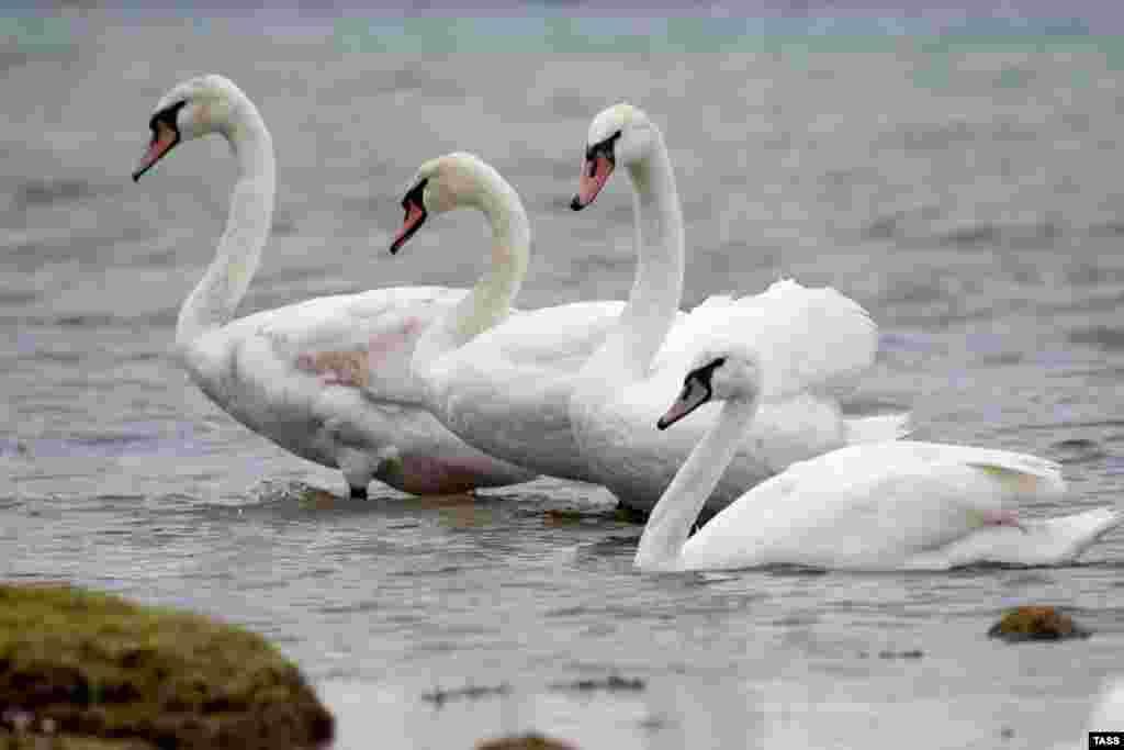 А ось лебеді продовжують мирно плавати у воді, чекаючи, коли хтось підкине їм щось їстівне