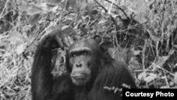 Шимпанзе в Национальном парке Танзании.