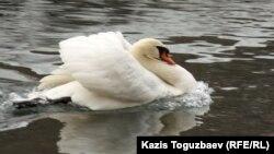 Алматы зоопаркіндегі аққу. 4 наурыз 2012 жыл.