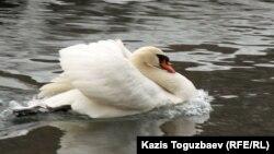 Лебедь в пруду алматинского зоопарка.
