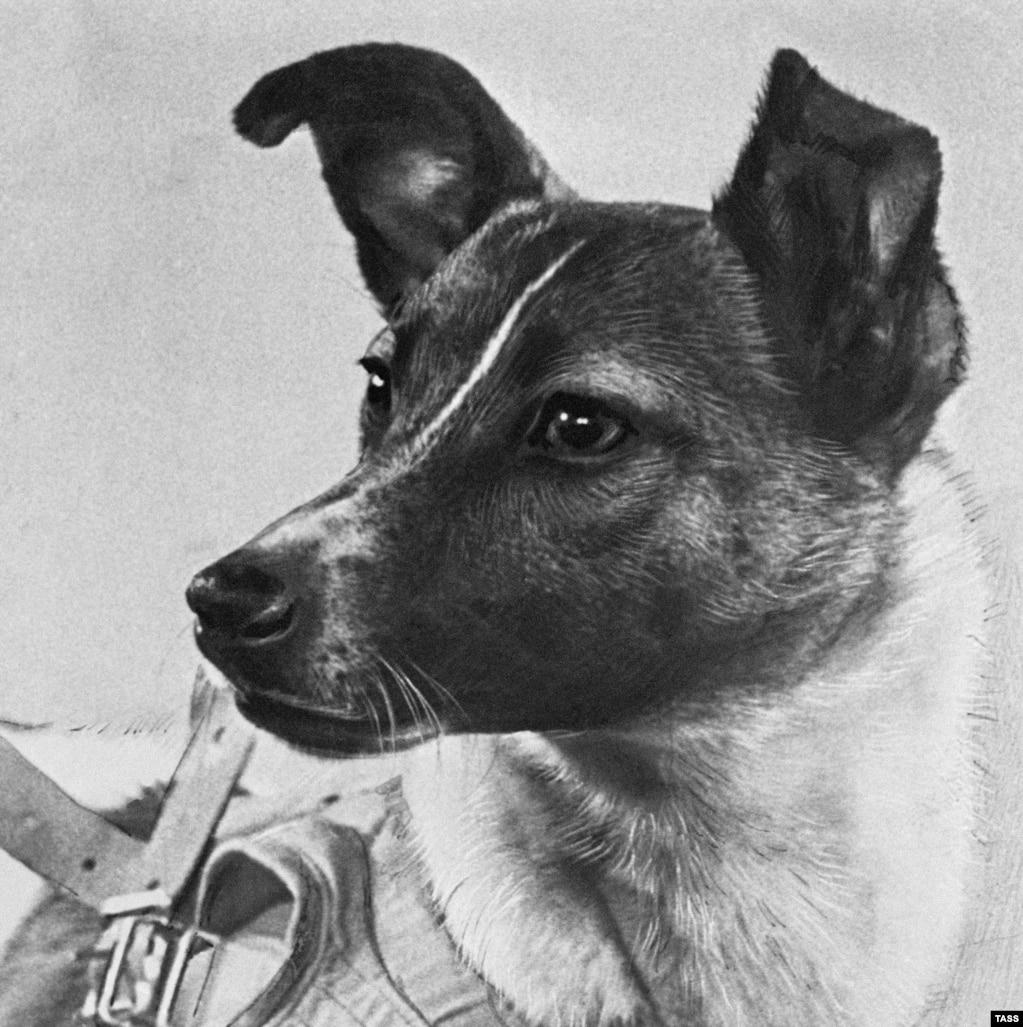 لایکاهمراه چند سگ خیابانی دیگر، زمانیبرای ماموریت سفر به فضا انتخاب می شود که سه سال داشت. دانشمندان فضایی روسیه سگهایی خیابانی را به علت سختجانی و مستقل بودنشان برای این ماموریت برگزیدند. یکی از دانشمندان درگیر این پروژه لایکا را «ساکت و خونگرم» توصیف کرده بود.