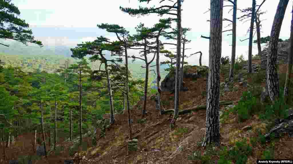 Крымская сосна занесена в Красную книгу Украины и России (В России она растет в горах южнее Геленджика)