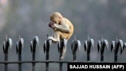 میمونهای رِزوس بومی هند و پاکستانند. به شکل قاچاق در ایران خرید و فروش میشوند و بعد دچار دردسر میشوند...