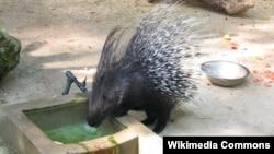 .تَشی، جانوری مشابه با جوجه تیغی