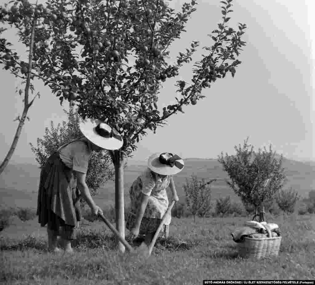 Women working on a collective fruit farm in Transylvania in 1962.