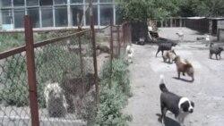 Երևանում բազմացել ու ակտիվացել են թափառող շները